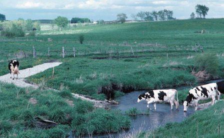 cows following a path