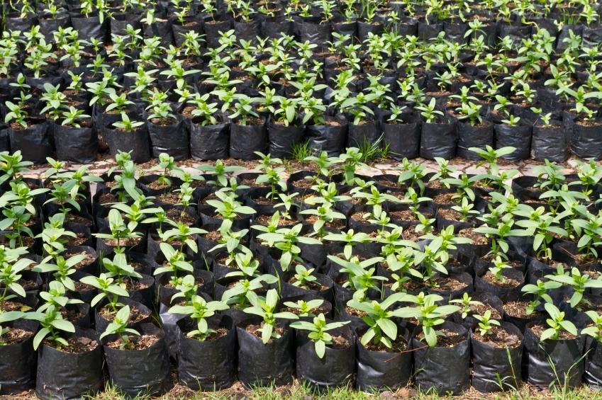 Seedlings in soil in a nursery